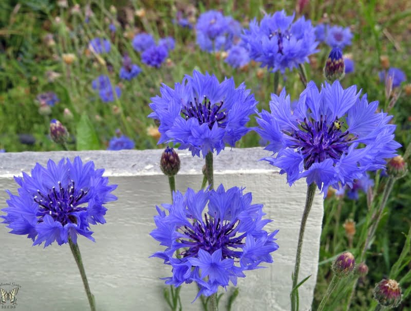 Centaurea cyanus, the cornflower, has naturally blue flowers and is natively found on farmlands and alogside roads.