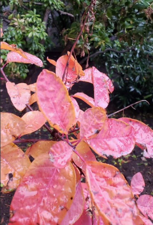 Red fall leaves on an American Smoketree.