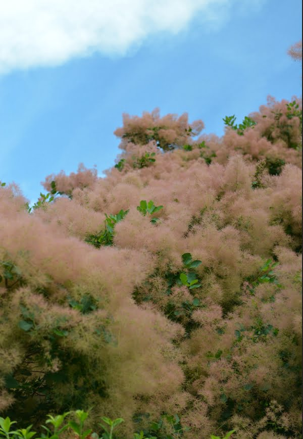 American smoketree has a fuzzy pinkish display in the summer.