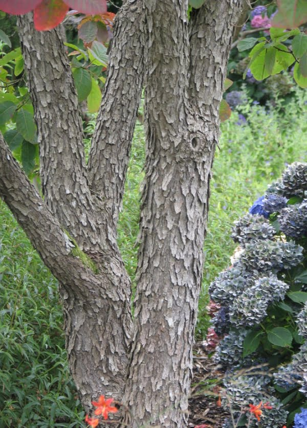 Cotinus obovatus tree trunk and bark.