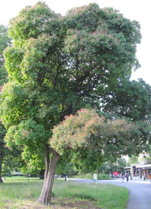 Cotinus obovatus tree