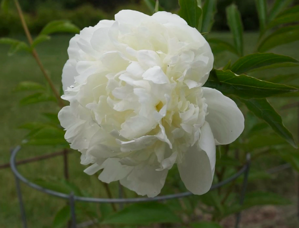 Paeonia officinalis 'Alba Plena'