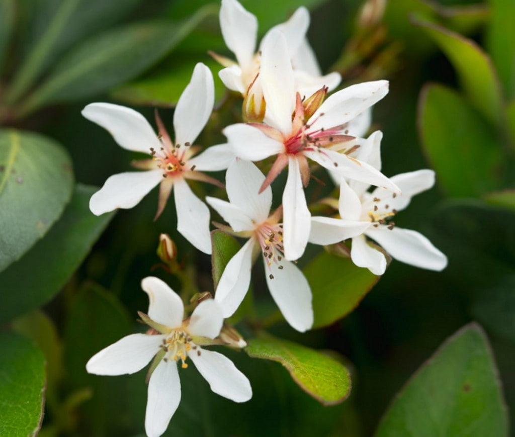 Indian Hawthorn Snow White Cultivar