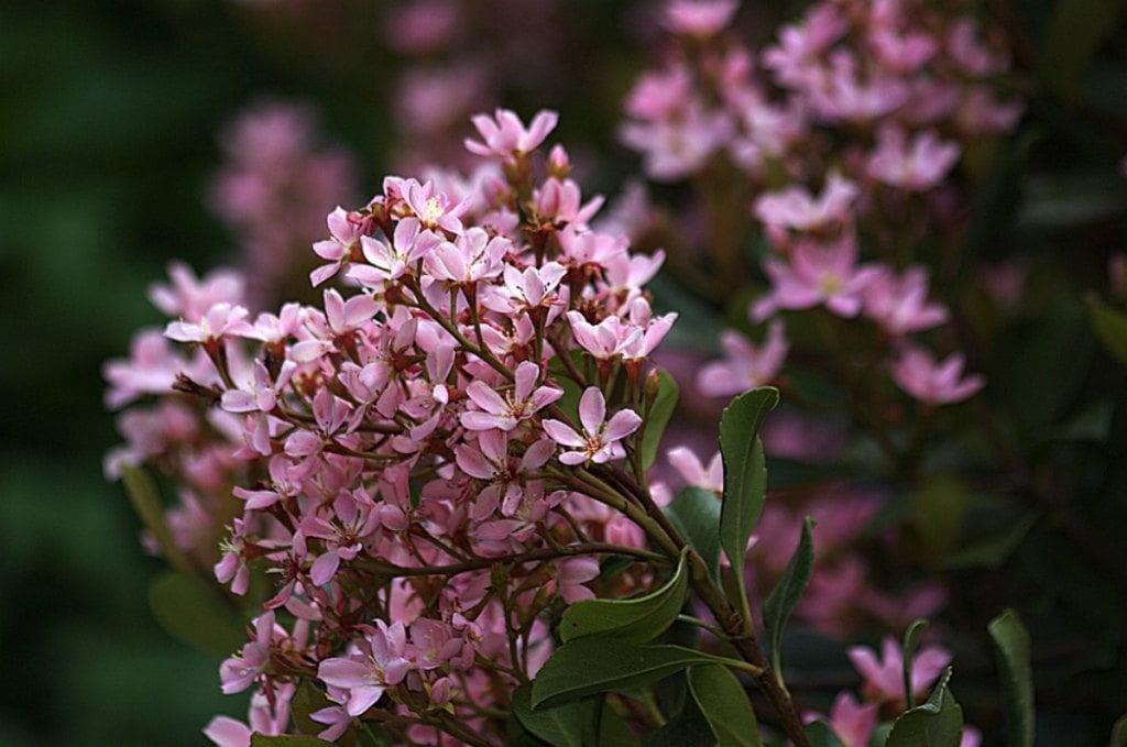 Indian Hawthorn Springtime cultivar