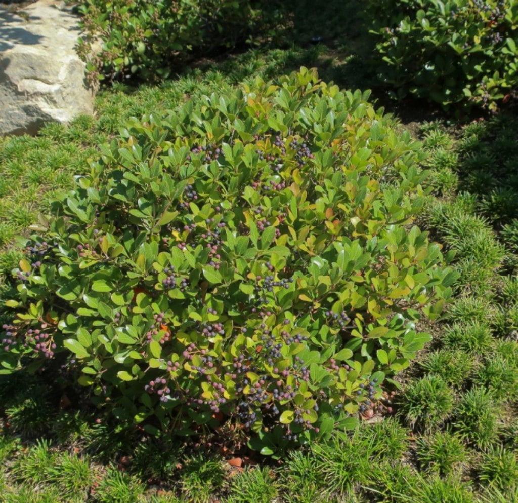 Rhaphiolepis indica shrub