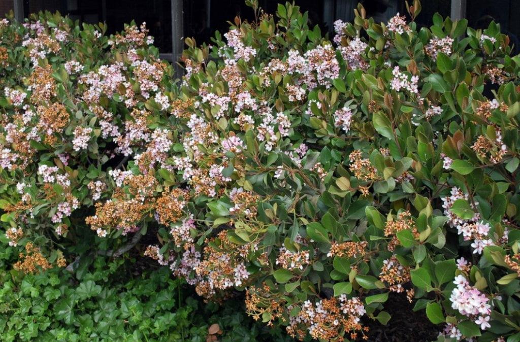 Rhaphiolepis indica hedge