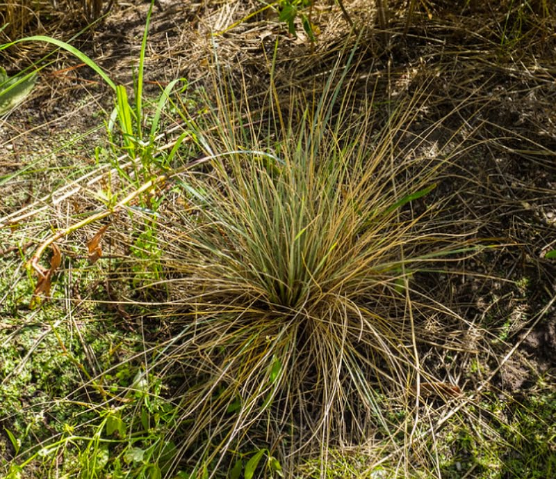 Blue Oat Grass Saphirsprudel