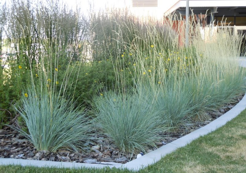 Helictotrichon sempervirens makes for a great landscaping plant.