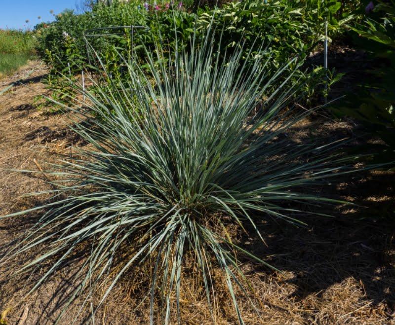 Helictotrichon sempervirens Saphirsprudel cultivar.