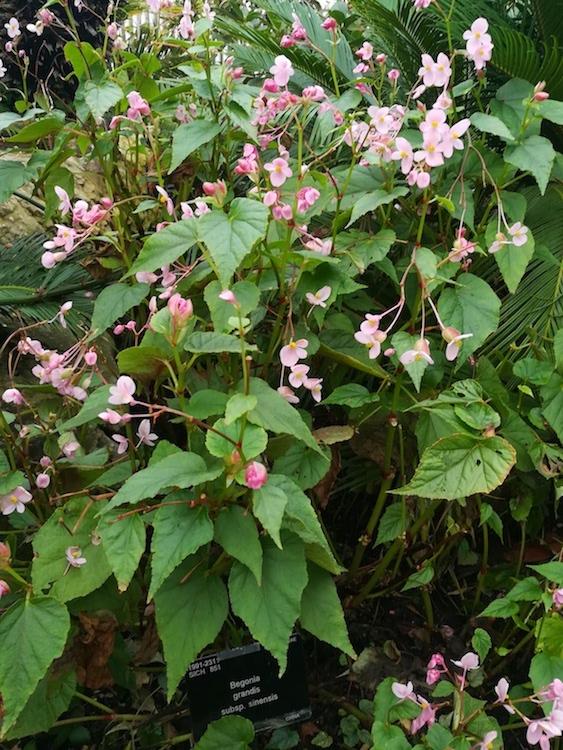 How to Grow Begonia grandis in the Garden