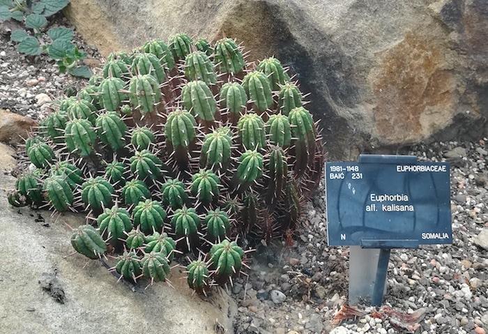 Euphorbia kalisana