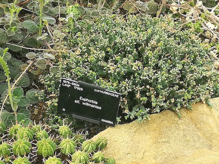 Euphorbia willmaniae