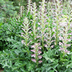 Acanthus hungaricus Hungarian Bears Breeches Description