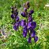 Aconitum napellus Description