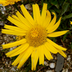 Arnica montana Description