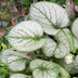 Brunnera macrophylla Description