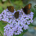 Grow Common Yarrow