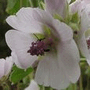 How to Grow Althaea