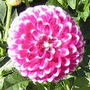 How to Grow Dahlia