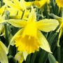 How to Grow Narcissus