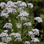 How to Grow Valeriana