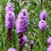 Grow Dense blazing star