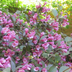 Weigela Plant Growing Guide