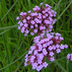 Grow Purpletop Vervain