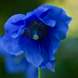 Meconopsis grandis Description
